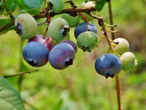Blueberry_01